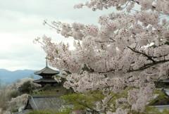 桜とともに 當麻寺