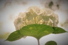 紫陽花 白景