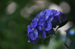 紫陽花 青い花