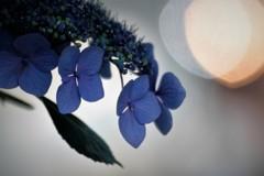 紫陽花 ライティング