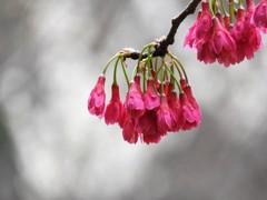 寒緋桜の奥には