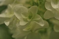 紫陽花 シルキー