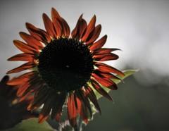 紅い向日葵 透ける
