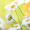 白い花 明
