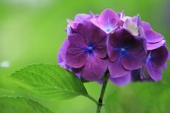 紫陽花 緑景