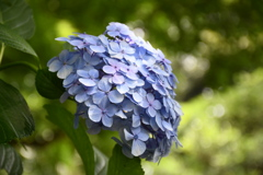 紫陽花の奥に