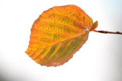 冬の葉白背景