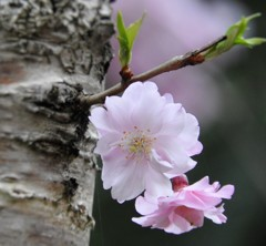 春の花 さくら