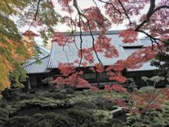 大きな紅葉のある庭で