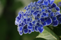 紫陽花 白縁青花