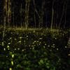 林の中のヒメボタル_2021.05.30