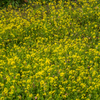 棚田の菜の花