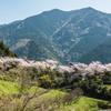 厳木ダムの桜-3