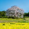 馬場の山桜-7