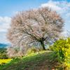 馬場の山桜-5