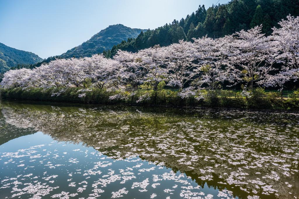 赤穂山の桜-2