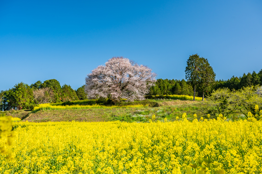 馬場の山桜-2