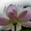 都合よく蓮は綺麗に咲いてない・・・(ーー;)