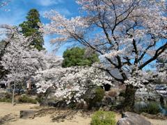 恵林寺の桜