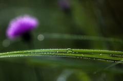 morning dew #1