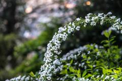 White flowers at dusk