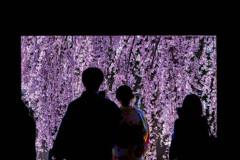 京の枝垂れ