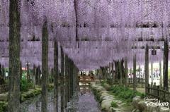 天王川公園の春