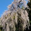 梅岩寺のしだれ桜