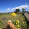 犬と散歩と菜の花