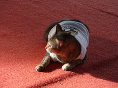 タイ猫 その1