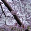 大岡川の桜-3 HDR