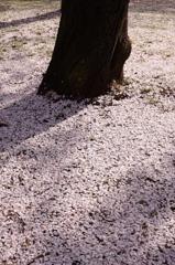 桜のじゅうたん