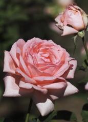 花の歳時記 秋バラ1