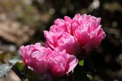 牡丹咲き競う2