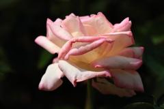 ピンク系6