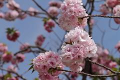 八重桜福禄寿2