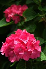 旬の花 あじさい1