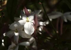 庭の春 ジャスミン