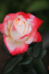 バラが咲いた4