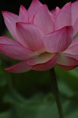 花の歳時記 蓮6