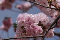 八重桜福禄寿4