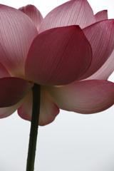 花の歳時記 蓮4