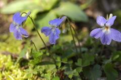 花の歳時記 ノスミレ
