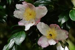 山茶花咲く頃2