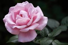 バラが咲いた2