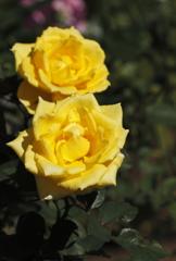 花の歳時記 秋バラ2