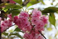 八重桜福禄寿3