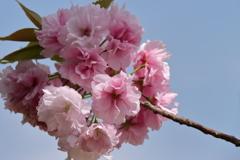 八重桜福禄寿1