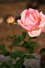 バラが咲いた3