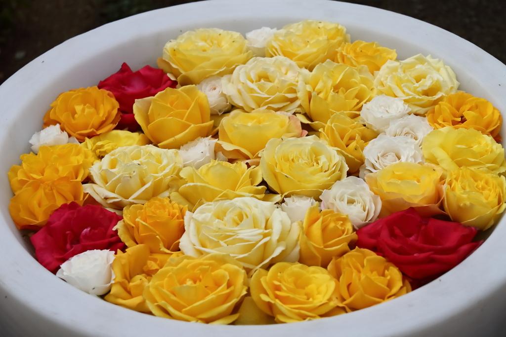水盤のバラ2